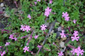 Silene lycia - Lycian Catchfly. Locally Endemic