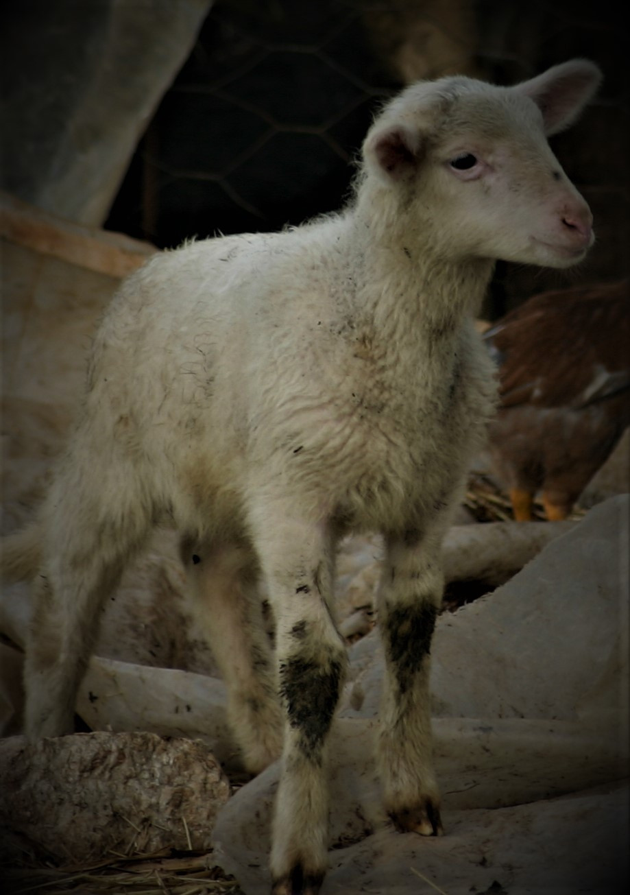 Sprin Lycian Lamb