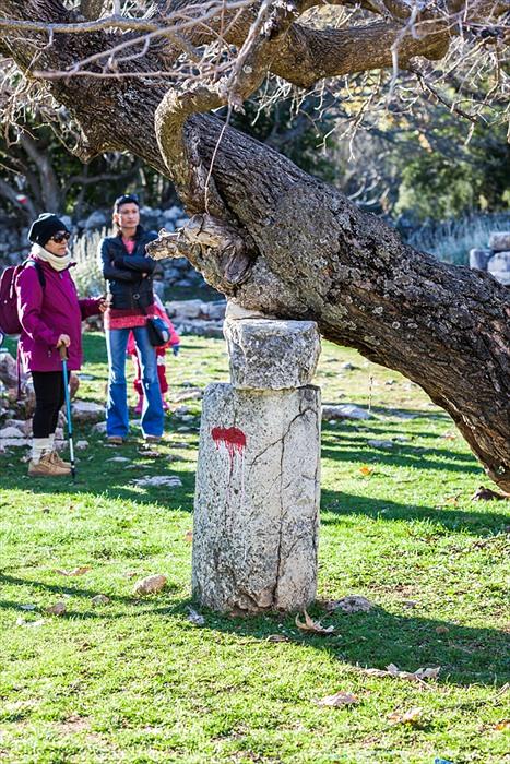 Sidyma pillar tree