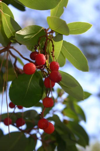 Fruit of arbutus andrachne