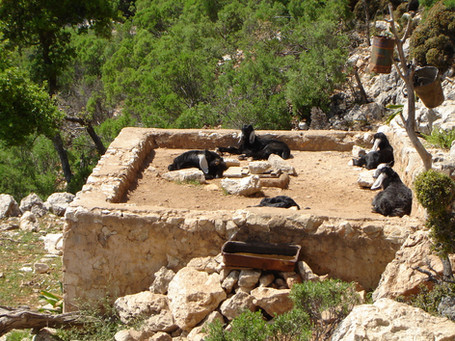 Lycian goats waiting for a drink
