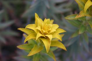 Euphoric Euphorbia of Turkey