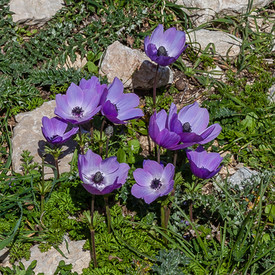 Purple Anemonies of Lycia.