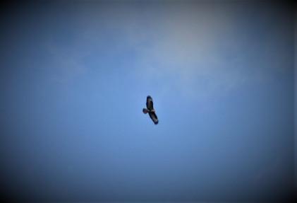 Hobney buzzard watching over the trekkers