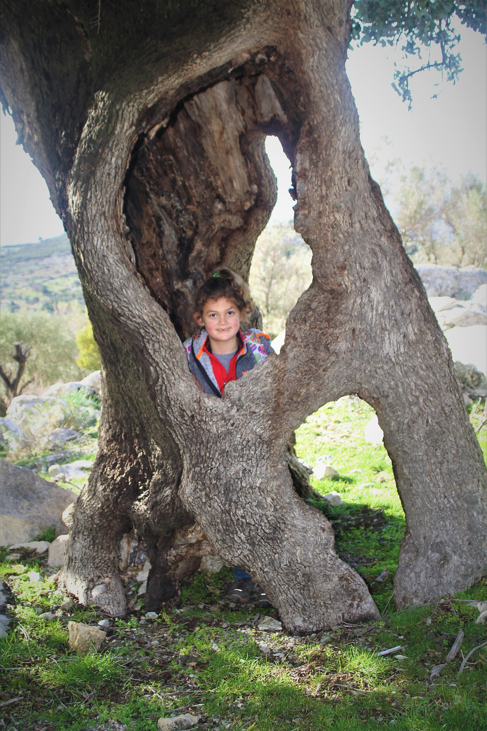 Ancient Olive tree on Lycian way.