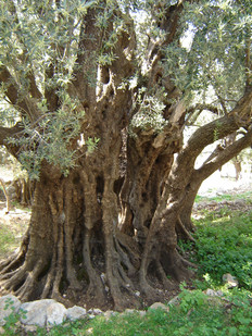 An ancient Olive tree on the trek