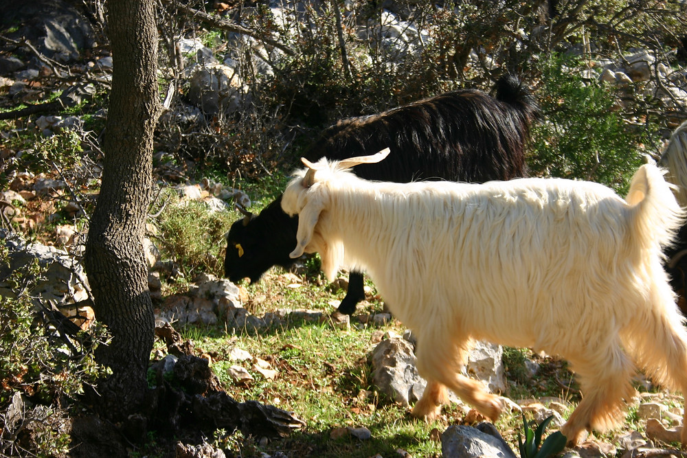 Satyr of goats on the Lycian Way.