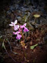 Anatolian Orchid  Ophrys anatolica