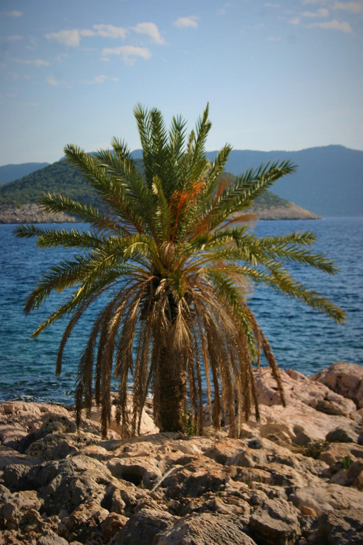 Lone Palm on lycian way near bogazcik