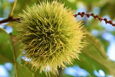 Chestnut of Kestanelik village