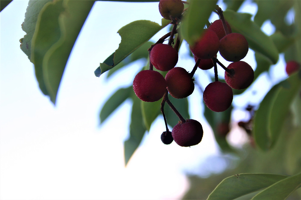 Strawberry Tree fruits. Arbutus andrachne