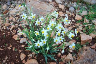 Narsissus are comon in coastal areas of Lycia in November