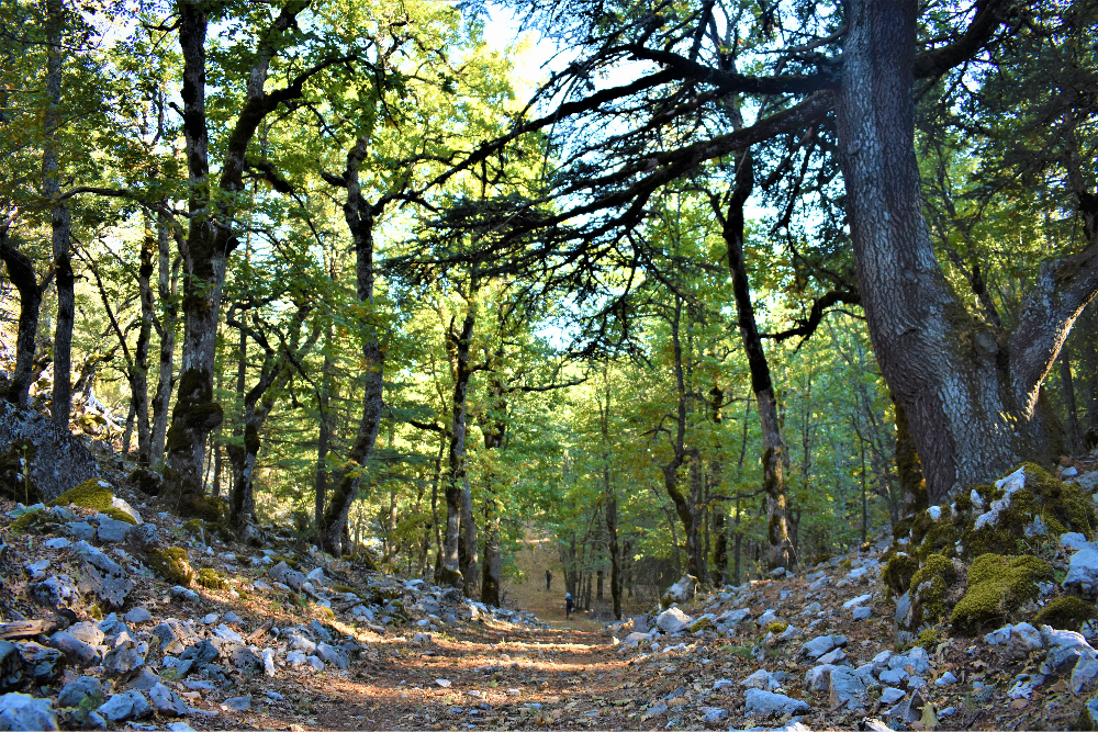 Volcanic Oak Forest on the route