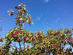 Strawberry tree on the Lycian way
