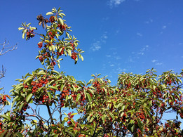 Strawberry tree on the Lycian way