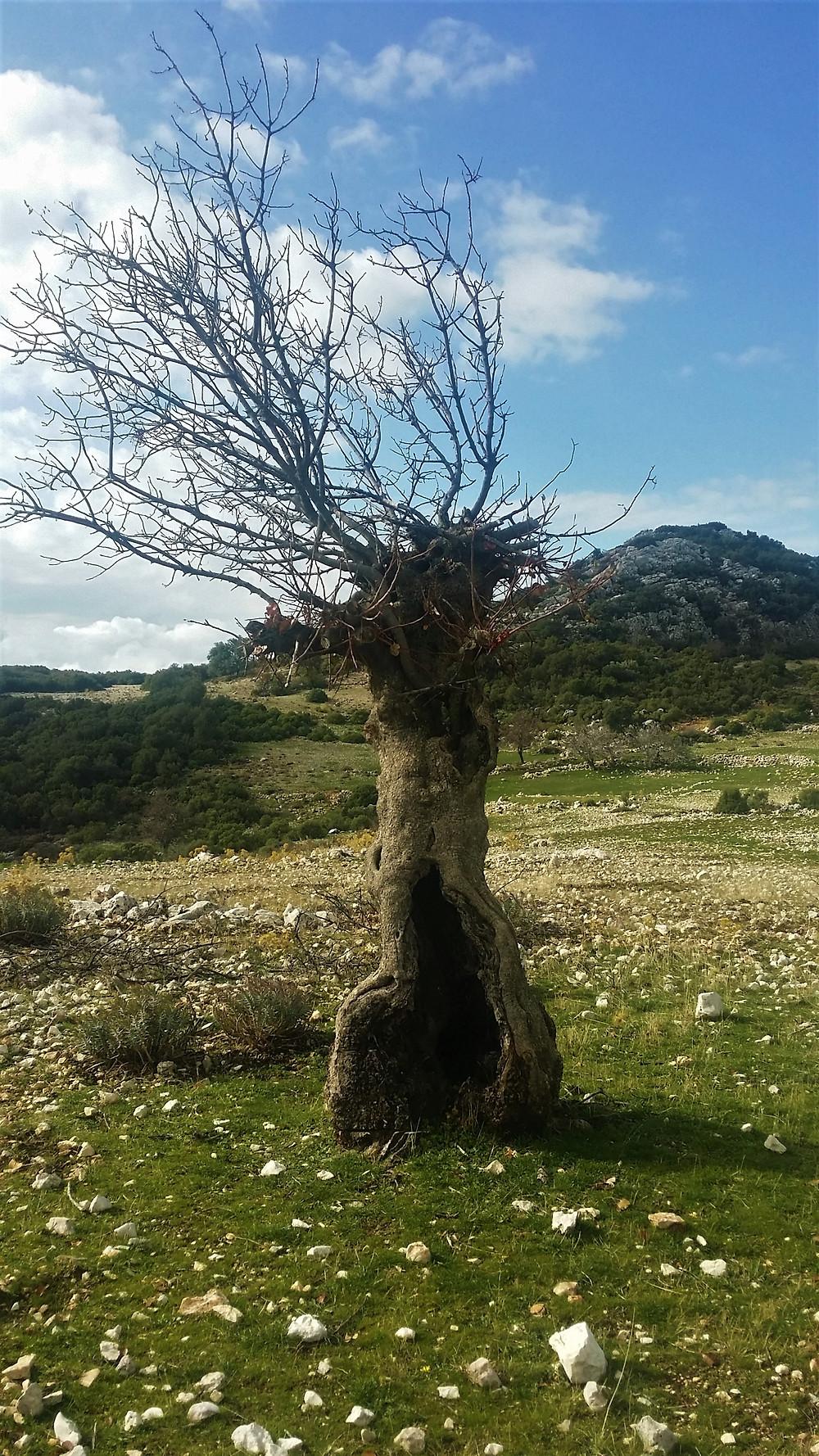 Stunted tree on lycian way near Sarıbelen