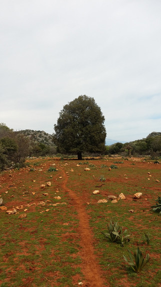 The great scrub oak of Lycia, know a s