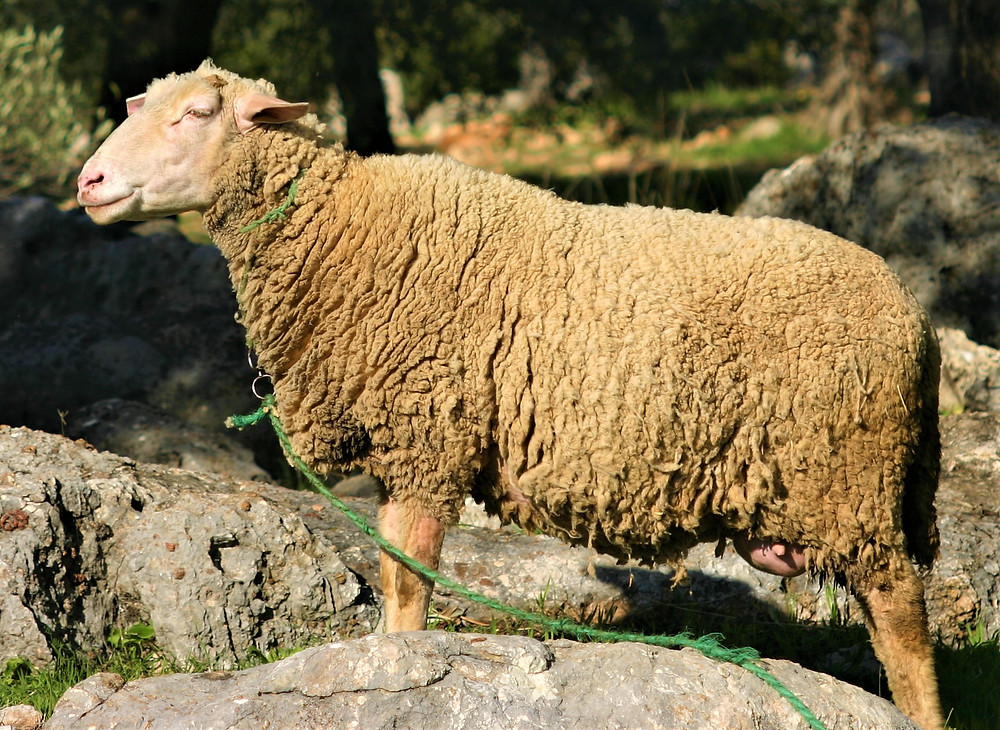 Lycian Sheep