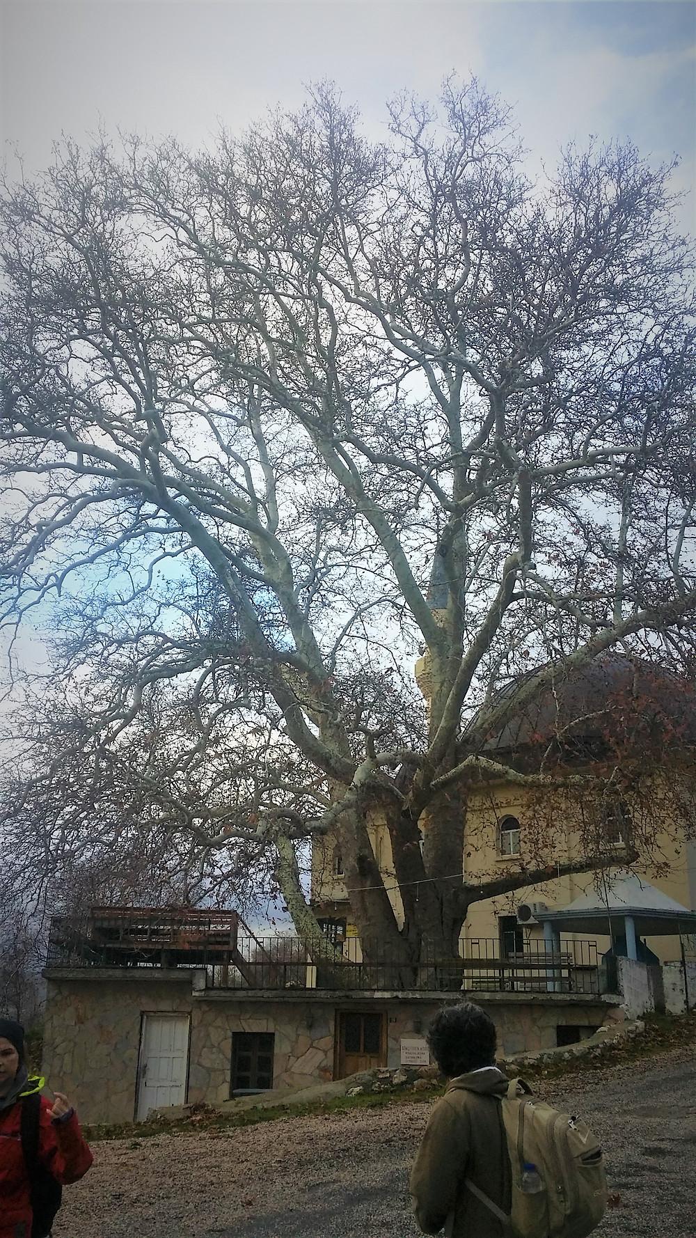 Plane tree in Gokceoren, Lycia