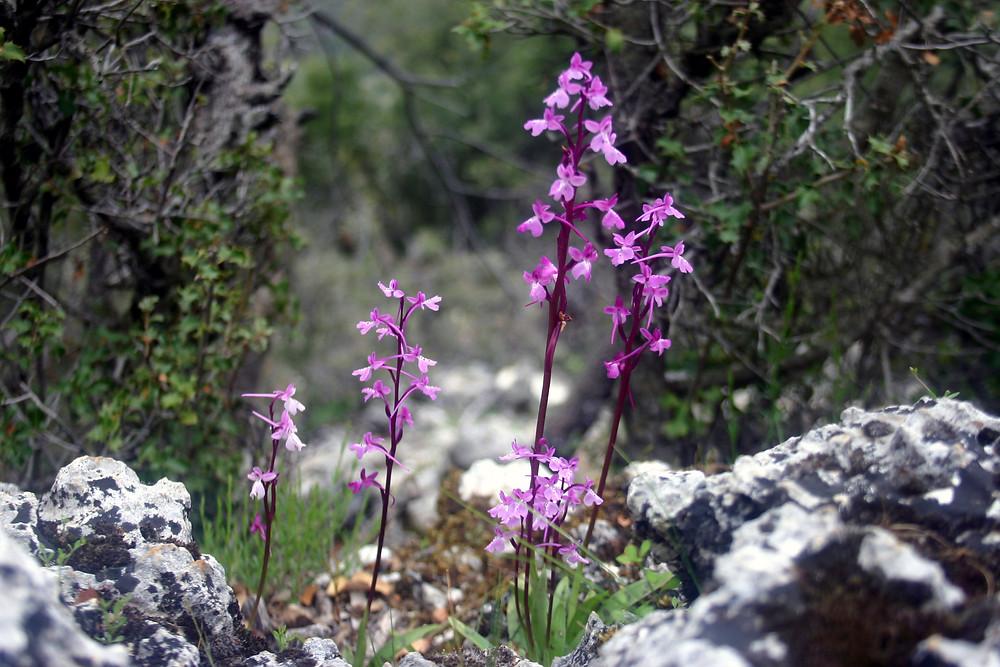 O. Anatolica  - Anatolia Orchid