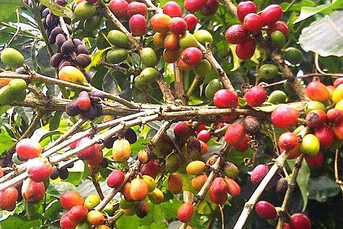 【Papua New Guinea】 Kigabah 農園