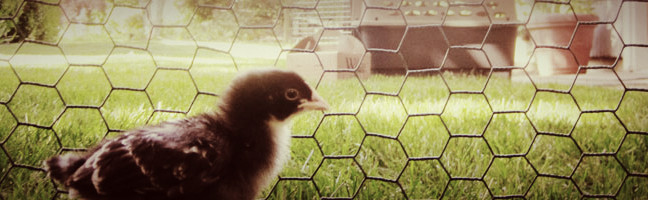 Getting to Know the Chicks