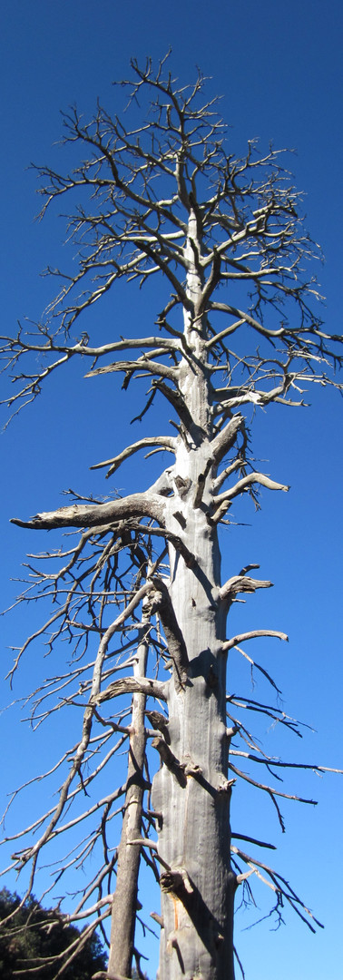 Endangered Cedar tree