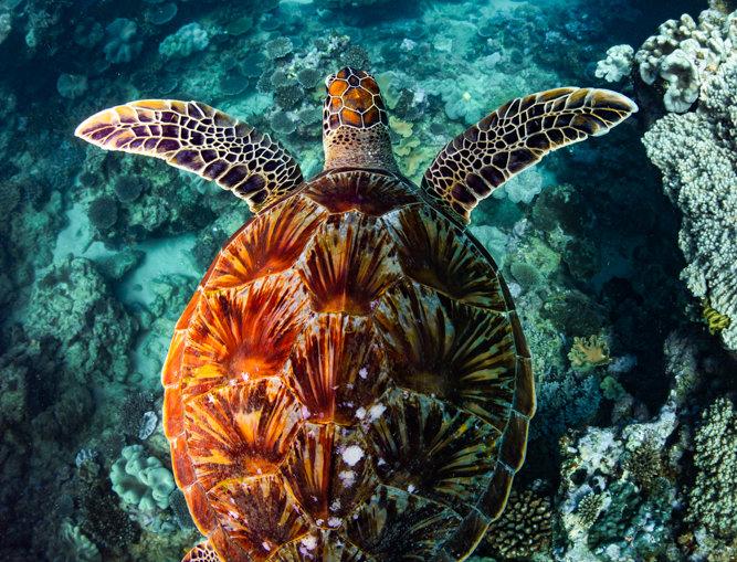 Green Sea Turtle (T0423)