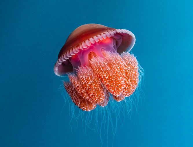 Red Bell Jellyfish  (J6920)