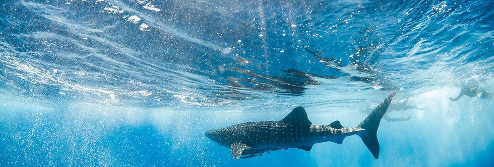 Whale Shark (WS7878)