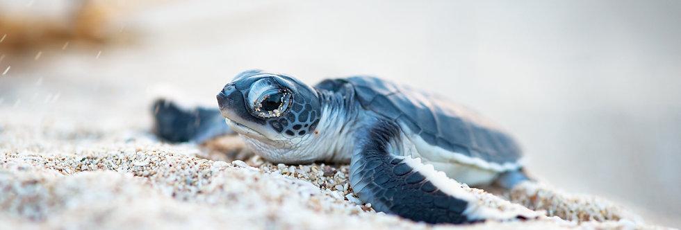 Turtle Hatchling (T7027)