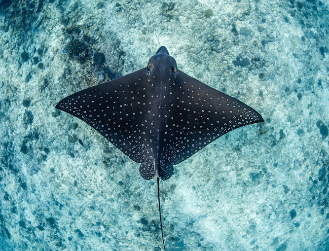 Spotted Eagle Ray (ER7993)