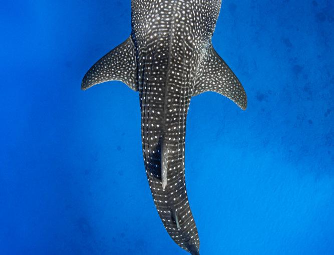 Whale Shark (WS4414)