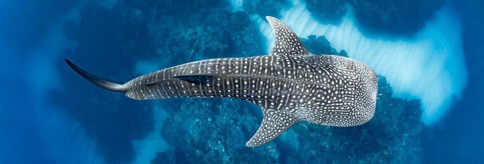 Whale Shark (WS8042)