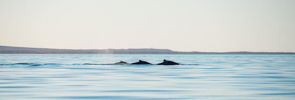Panoramic Whales