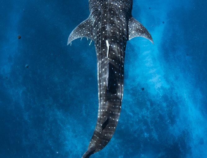 Whale Shark (WS7903)