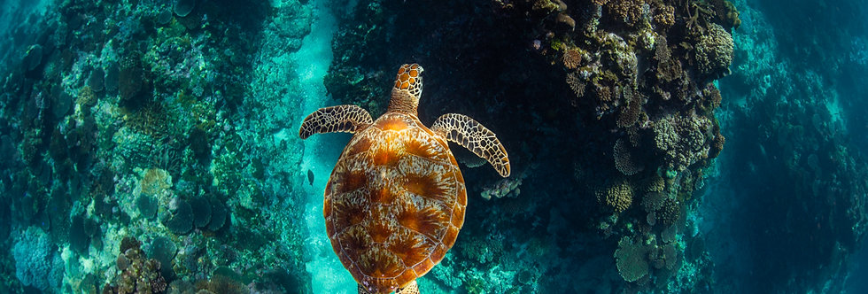 Green Sea Turtle (T2841)