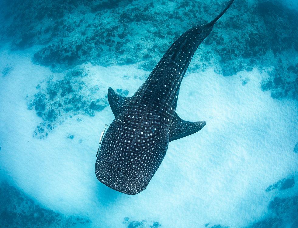 Whale Shark (WS6653)