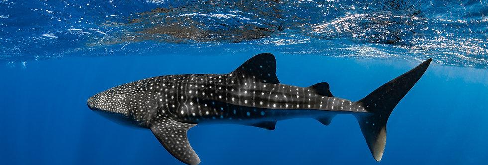 Whale Shark (WS2680)
