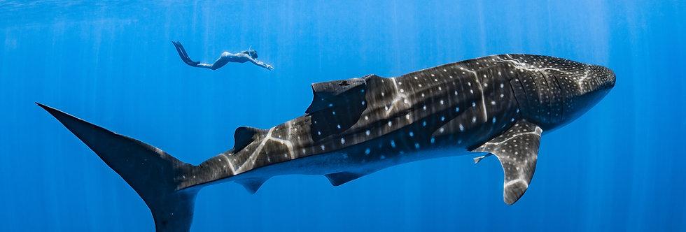 Whale Shark (WS4182)
