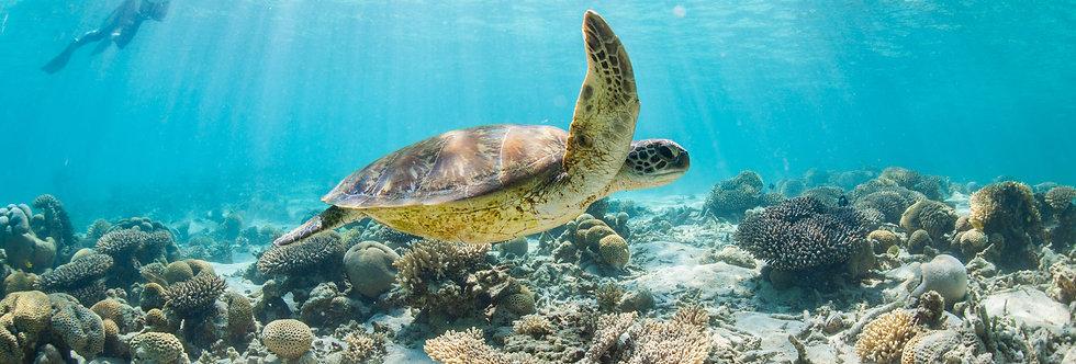 Green Sea Turtle (T3386)