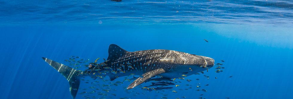 Whale Shark (WS7828)