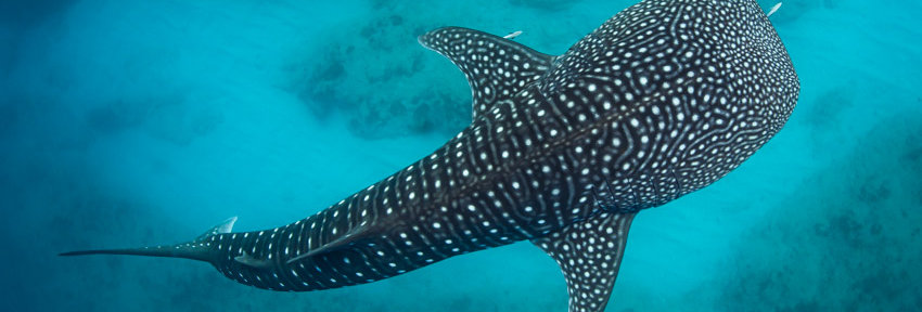 Whale Shark (WS6722)