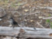 07-15 Grey Jay 2.jpg
