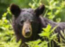 black-bear-1611349_1920.jpg