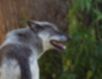 canadian-timber-wolf-4364600_1920.jpg