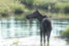 moose-5150897_1920.jpg
