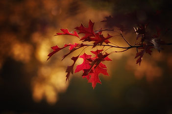 maple-leaves-2895335_1920.jpg