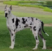 Male Great Dane Dogs for Sale