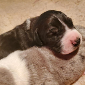 Mantle Male Available